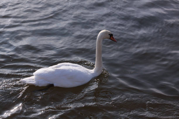 Single white swan floating on water surface stock photo