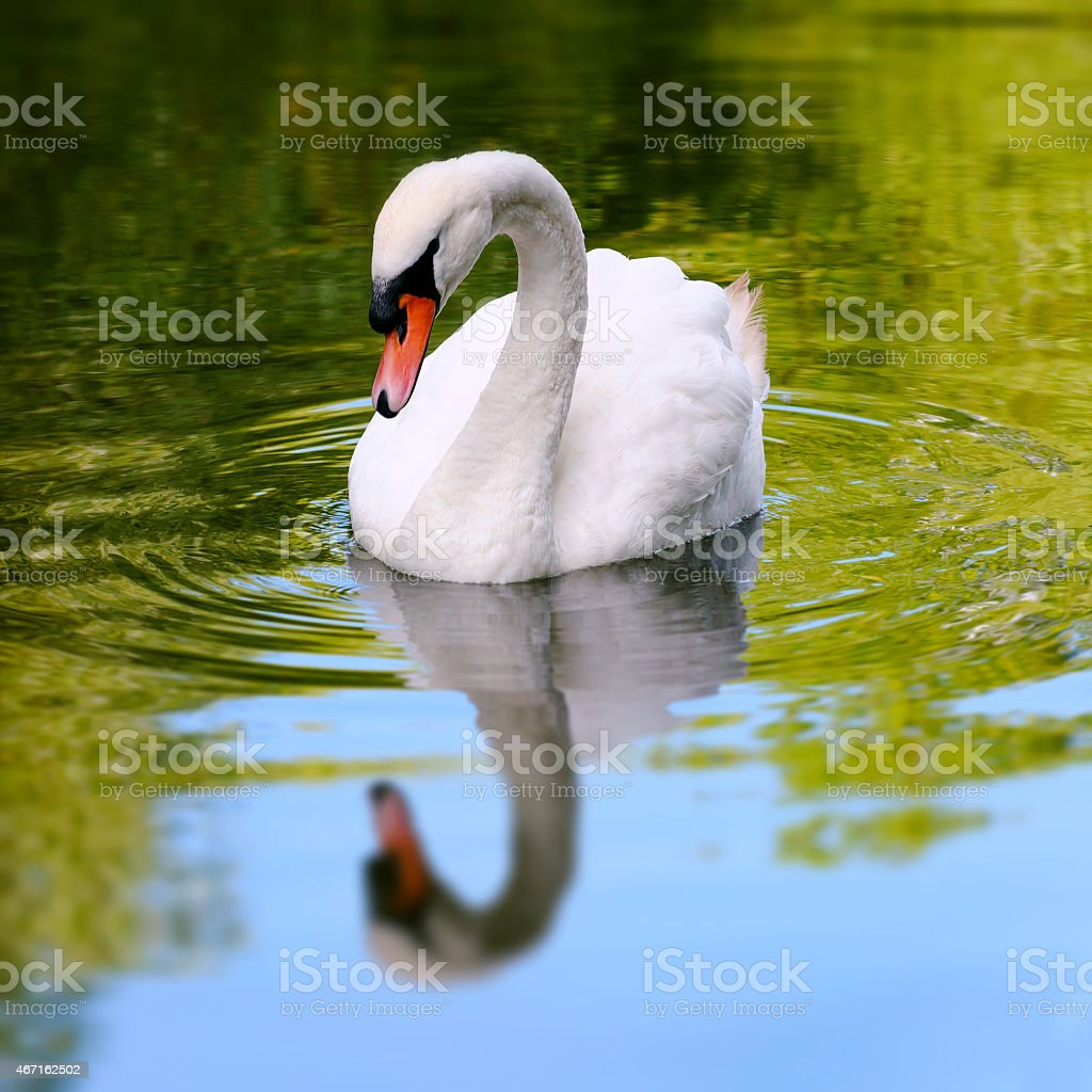 Single white swan in a lake reflective water square composition stock photo