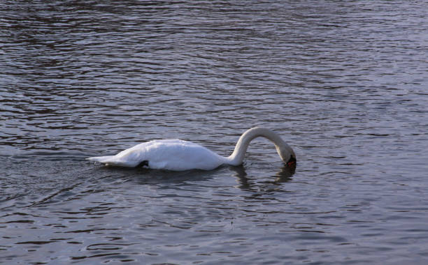 Single white swan river surface looking for food stock photo