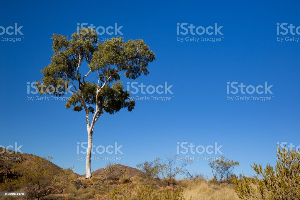 A single white trunked ghost gum stands in the Australian desert stock photo