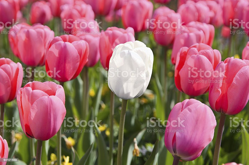 Single white tulip circled with pink neighbours royalty-free stock photo
