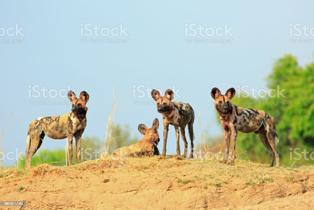 A single Wild Dog standing on the top of a raised sandbank with a clear blue fresh sky in South Luangwa National Park, Zambia stock photo