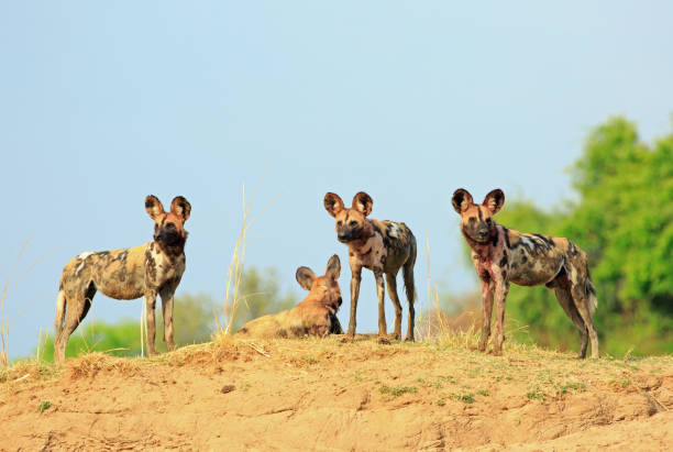 a single wild dog standing on the top of a raised sandbank with a clear blue fresh sky in south luangwa national park, zambia - cão selvagem imagens e fotografias de stock