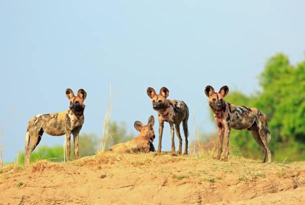 Eine einzelne Wildhund stehen auf der Spitze einer erhöhten Sandbank mit einem frischen klaren blauen Himmel in South Luangwa Nationalpark in Sambia – Foto