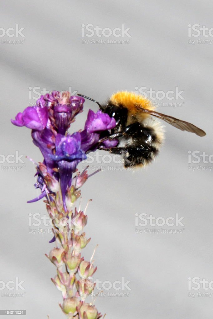 Single wild early purple orchid flower, close up, bumble bee stock photo