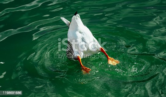 istock Single wild gray duck but with tail floating on the river water. One waterfowl goose bird dive in a pond. 1198691686