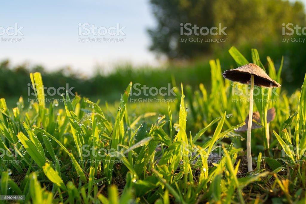 Single wild mushroom at sunrise. royalty-free stock photo