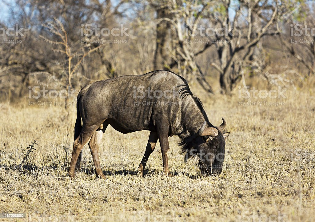 Single wildebeest in Kruger National Park, South Africa royalty-free stock photo