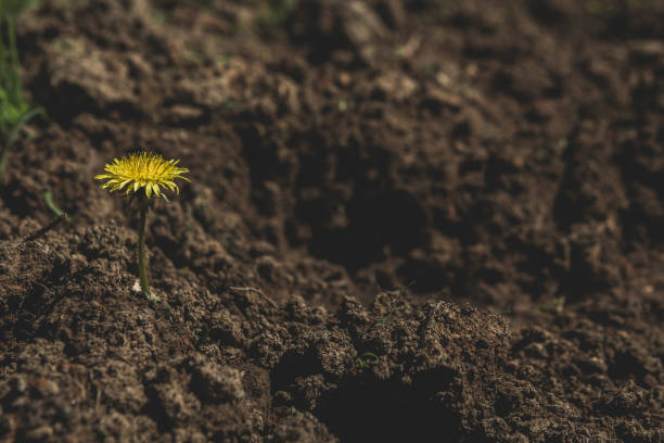 single wildflower growing in fresh soil. - resilience concept stock photos and pictures