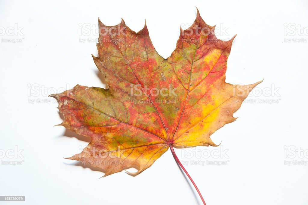 Single yellow and red autumn leaf stock photo