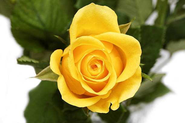 Beautiful Single Red Rose Flower Isolated Royalty Free: Royalty Free Single Yellow Rose Pictures, Images And Stock