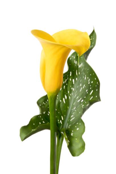Einzelne gelbe Calla-Blume isoliert auf weißem Hintergrund – Foto