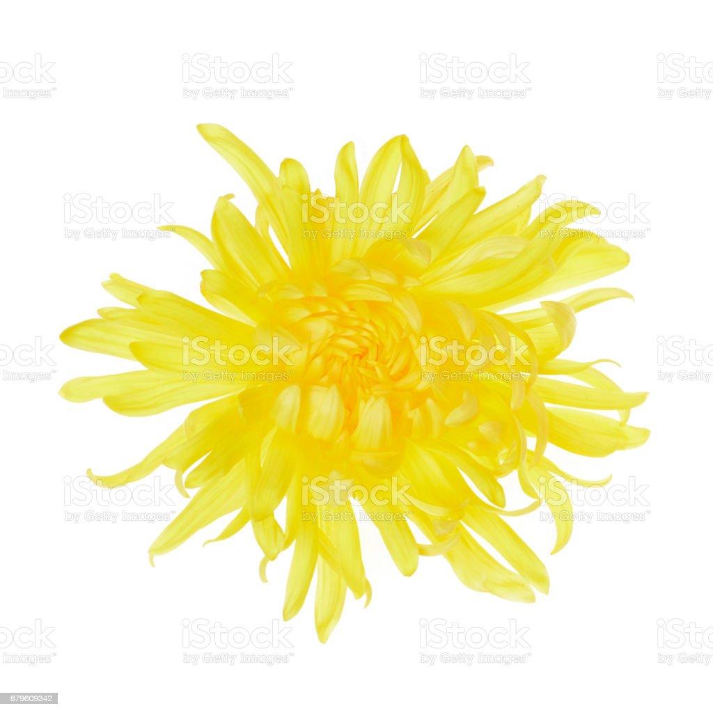 Single yellow chrysanthemum flower head isolated stock photo