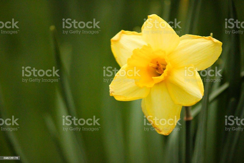 Narciso amarelo solteiro foto royalty-free