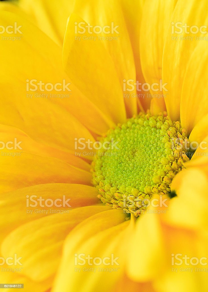 Single yellow daisy flower with green center macro stock photo single yellow daisy flower with green center macro royalty free stock photo mightylinksfo