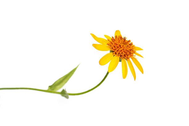 single gelbe Blume auf Weiß – Foto