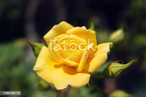 Single Yellow Garden Rose