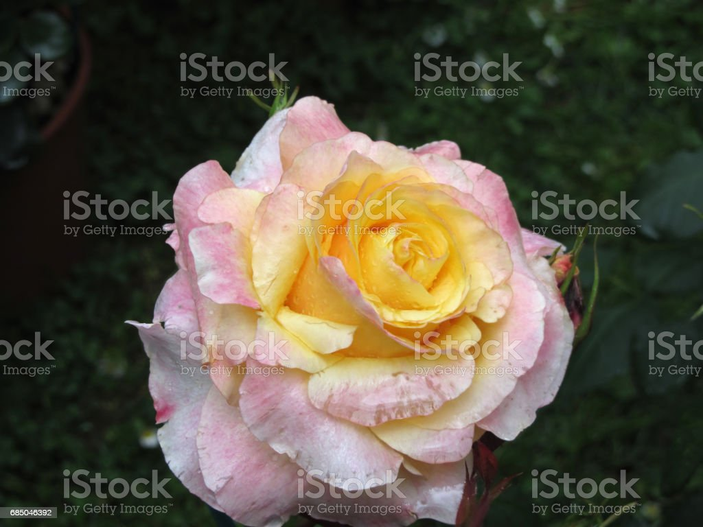 Single Yellow Rose Flower With Water Droplets In Spring Stock Photo