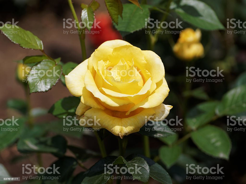 Single Yellow Rose In The Garden The Background Is Natural Stock