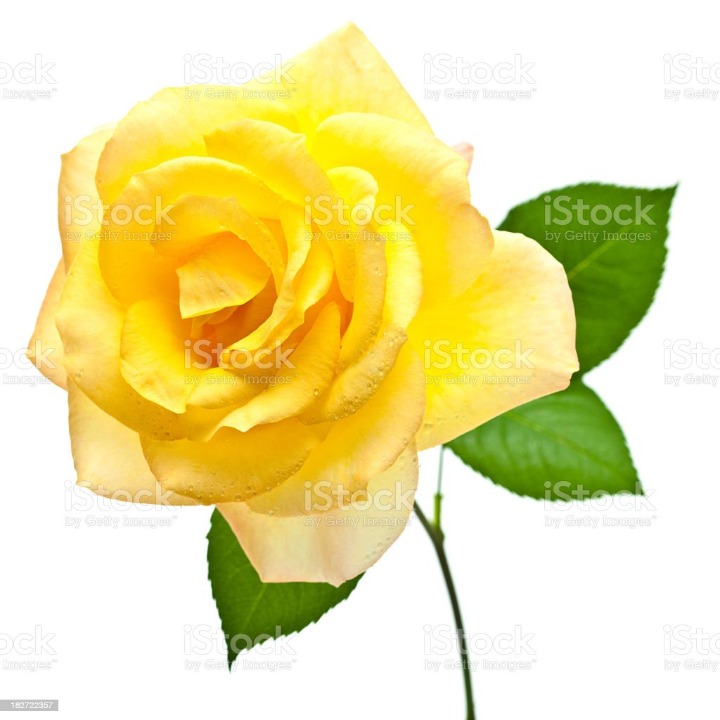 Single yellow rose on white background stock photo