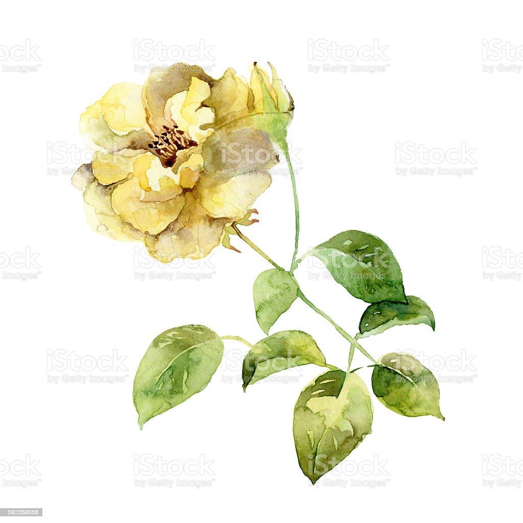 Single yellow rose on white background stock photo