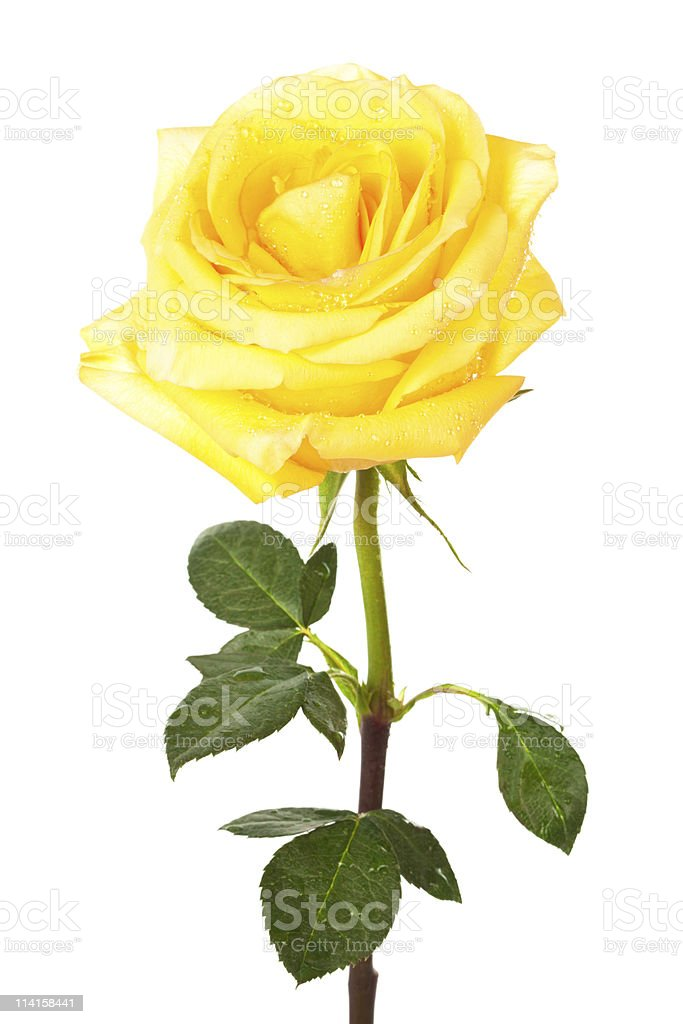 single yellow rose stock photo