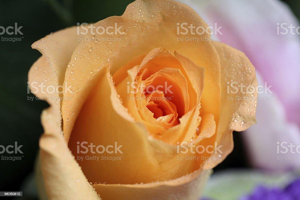 Single Yellow Rose royalty-free stock photo