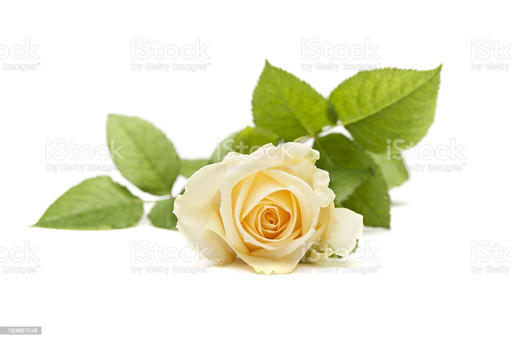 Single Yellow Rose With Leaves Stock Photo More Pictures Of Close