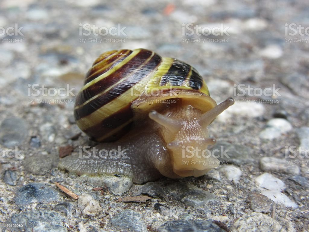 Single Yellow Snail with Striped Yellow and Brown Shell stock photo