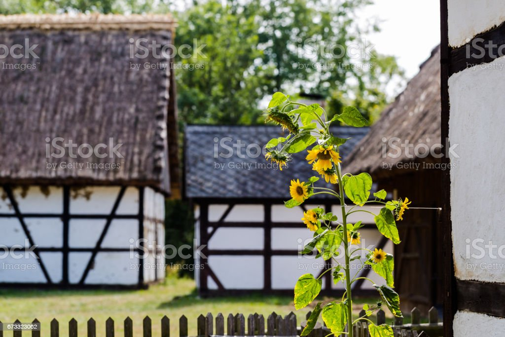 Single yellow sunflower in old farm with houses covered with prussian wall stock photo