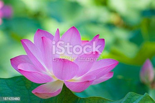 pink lotus = buddhism's symbol