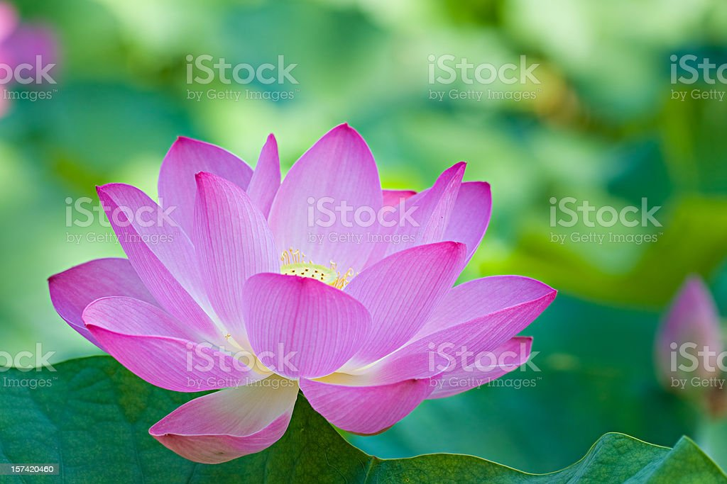A singular purple lotus flower stock photo