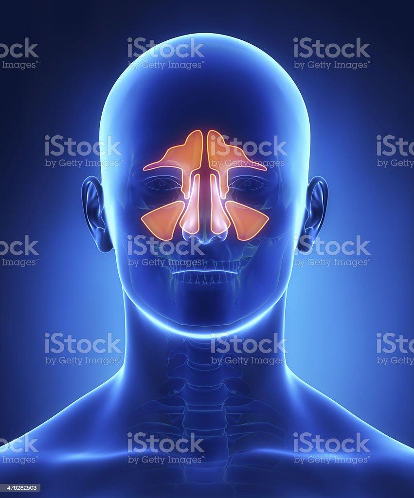 Nasennebenhöhlen Anatomie Frontalblick – Foto