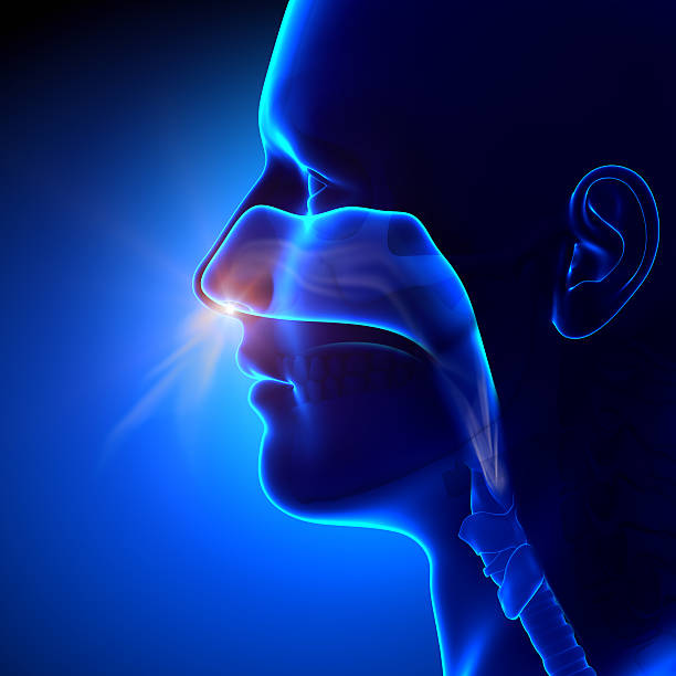 sinuses - breathing / human anatomy - nose stock photos and pictures