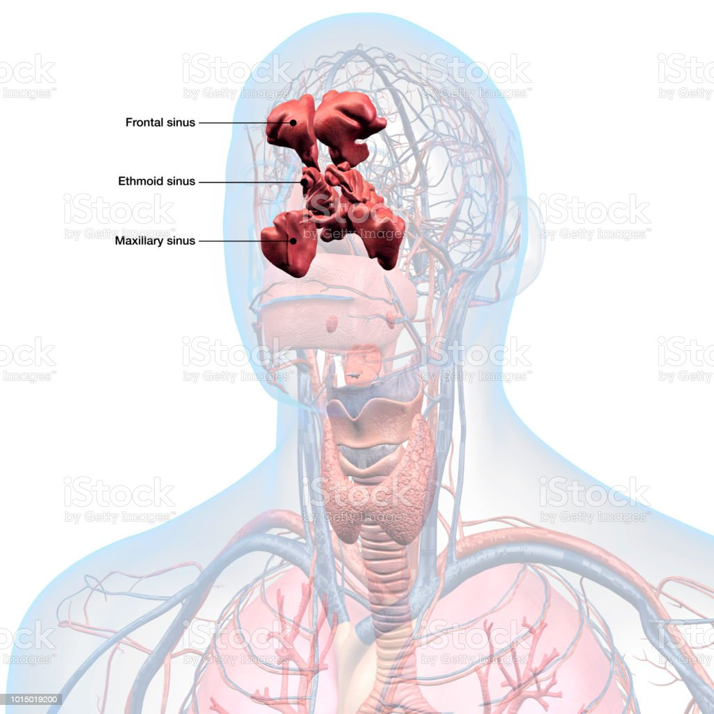 Sinuses Labeled In Head And Throat Anatomy Stock Photo & More ...