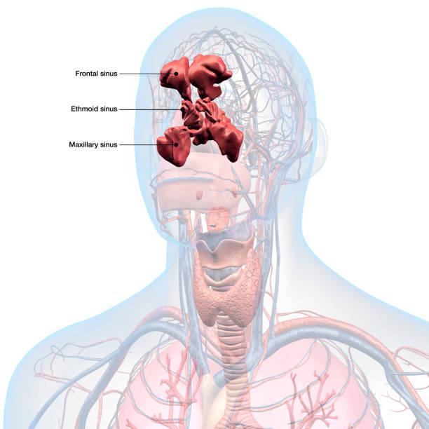 labeled in hoofd en keel anatomie sinussen - bijholte stockfoto's en -beelden