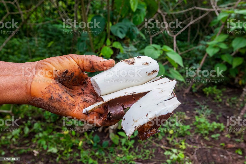 Siona Woman Holding A Vegetable Cassava stock photo