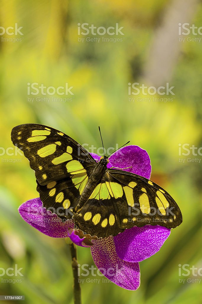 Siproeta stelenes butterfly on the orchid flower stock photo