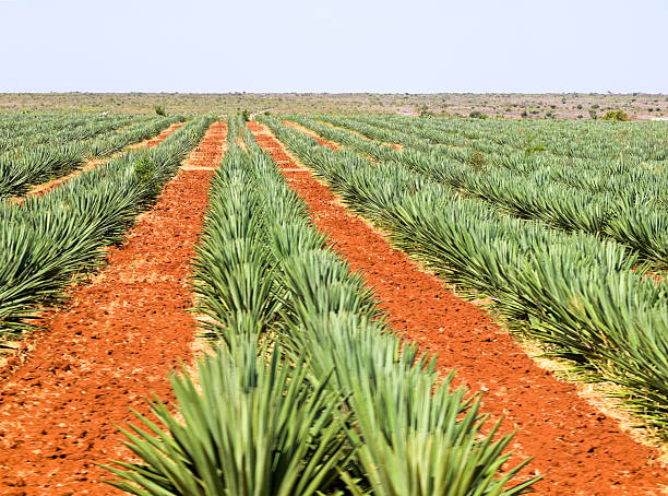 sisal plantation - sisal stock pictures, royalty-free photos & images