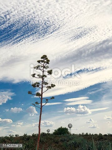 Silhouette of Sisal plants (Agave sisalana) flowering with two windpumps in the KarooSouth Africa