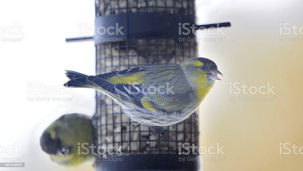 Fichtenzeisig (Carduelis spinus) Vögel in der Bird Feeder (XXXL – Foto