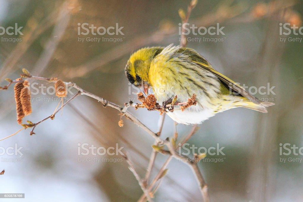 siskin on thin birch branch eats  earrings zbiór zdjęć royalty-free