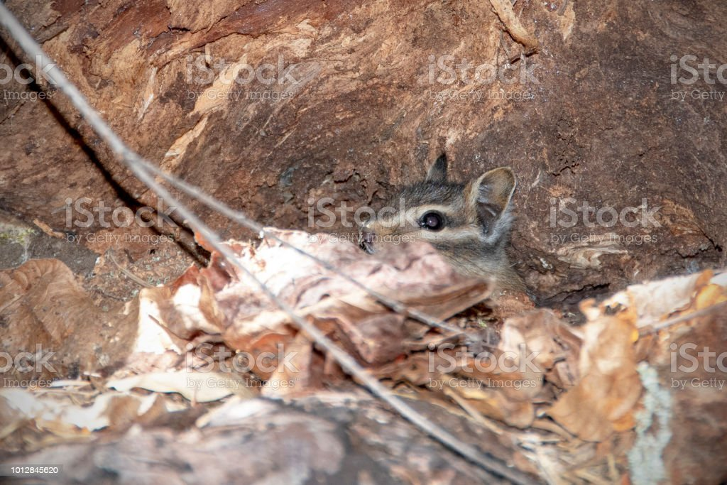 Siskiyou chipmunk, Neotamias siskiyou stock photo