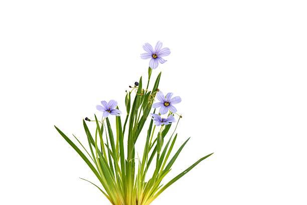 Sisyrinchium Devon Skies, Blue-Eyed Grass stock photo