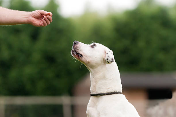 Sit to Attention! Close up of dog waiting patiently to be rewarded with a treat from an out stretched hand.. animal saliva stock pictures, royalty-free photos & images