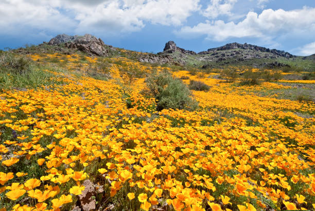 Meadow of Wildflowers at Sitgreaves Pass stock photo