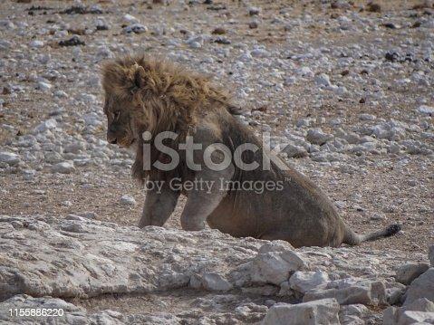 Ein sitzendes  Löwenmännchen an einem Wasserlochim Etoscha National Park in Namibia