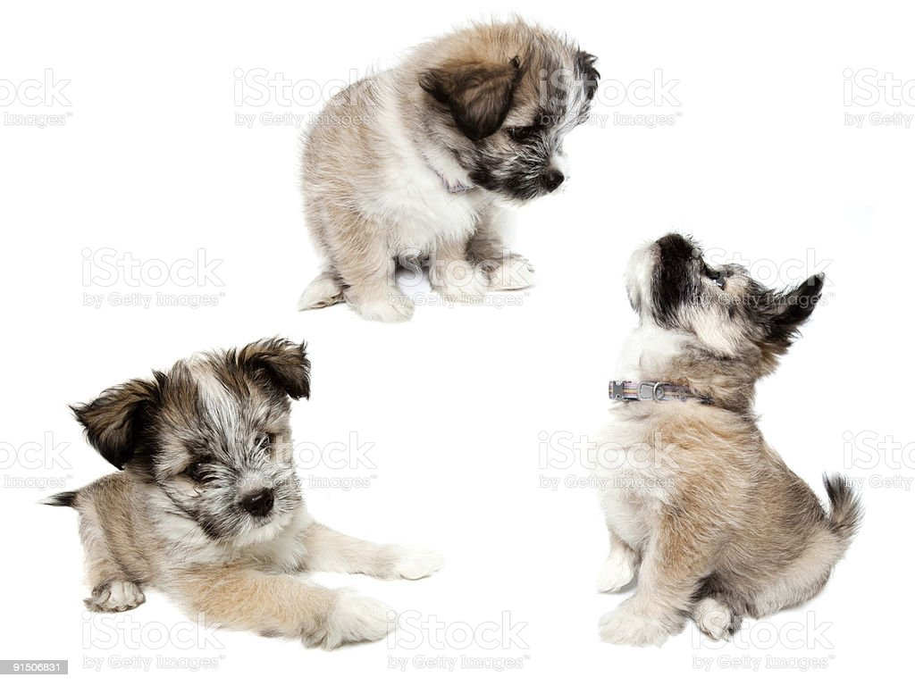 Sitting and lying Puppy Dog Poses Isolated royalty-free stock photo