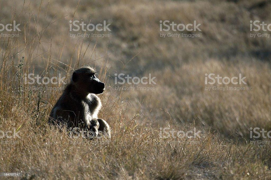 sitting baboon royalty-free stock photo