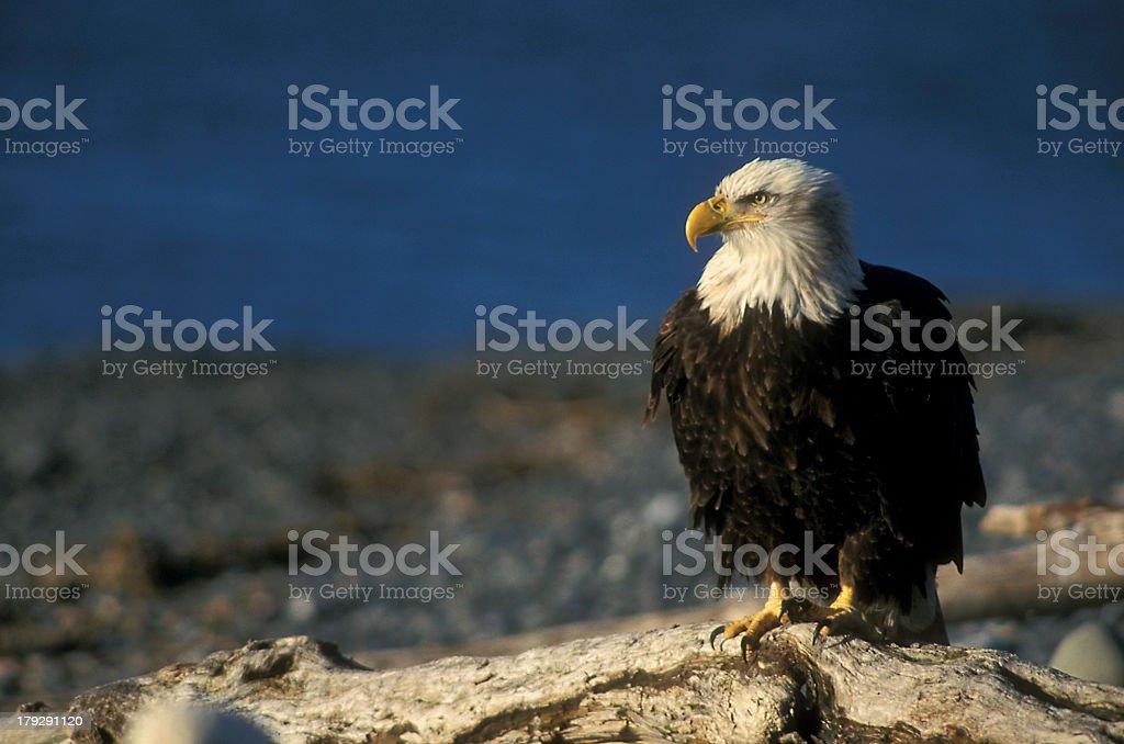 Sitting bald eagle royalty-free stock photo